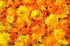 Ringelblumensalbe vermindert die Narbenbildung